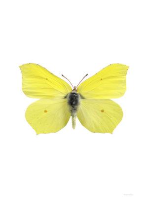 Citronfjäril - Gonopteryx rahmni
