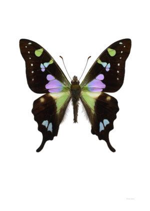 Graphium weiski