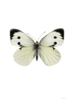 Kålfjäril, hona - Pieris brassicae