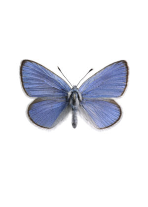 Klöverblåvinge Galucophsyche alexis
