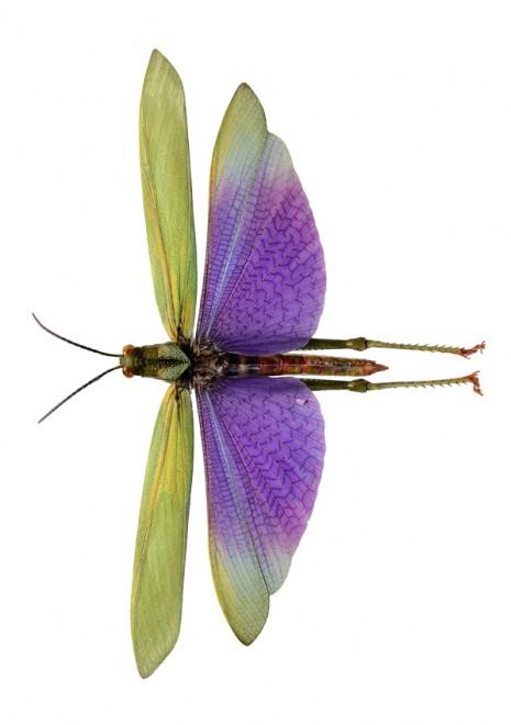 Lophacris cristata