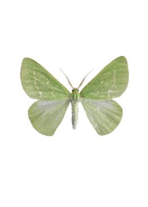 A Midsommarmätare - Antonechloris smaragdaria