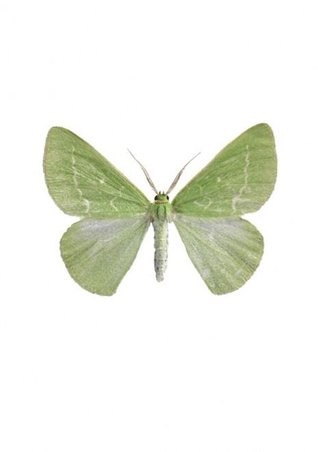 A Midsommarmätare – Antonechloris smaragdaria