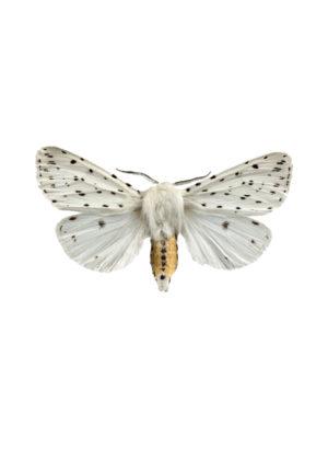Prickig tigerspinnare A