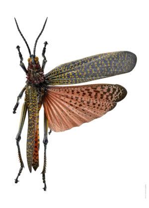 Tropisk gräshoppa