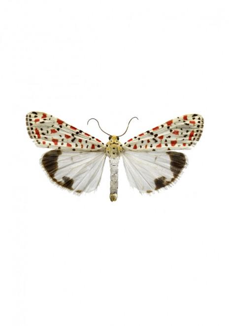 Utethesia pulchella A