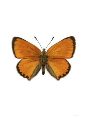 Vitfläckig guldvinge - Lycaena virgaureae