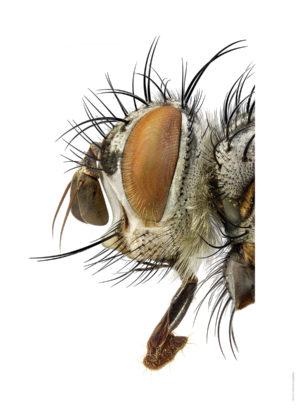 Linnaemya haemorrhoidalis A