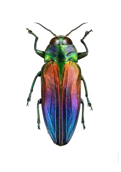 Belionota tricolor A 700px