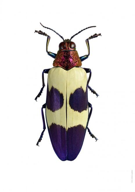 Chrysochroa buqueti rugicollis A