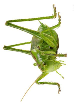 Gron vartbitare, nymf  Tettigonia viridissima A
