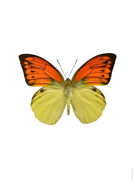 Hebomoia leucippe A
