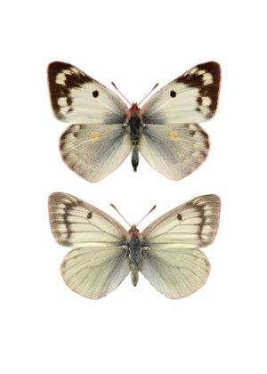 Höfjärilar 2
