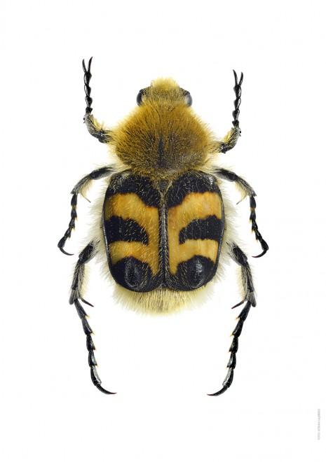 Humlebagge Trichius fasciatus A