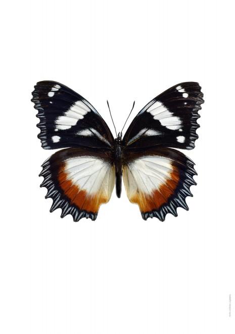 Hypolimnas dexithea A
