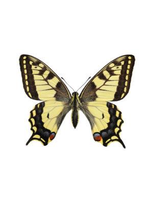 Makaon fjäril Papilio machaon A