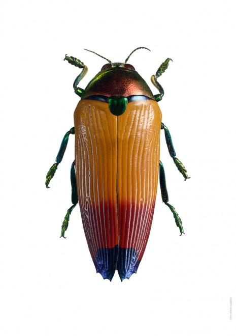 Metaxymorpha apicalis A