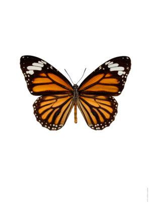 Monark Danaus plexippus A