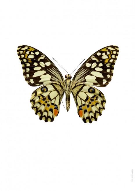 Papilio demodoleus undersida A