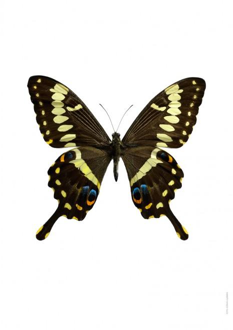 Papilio ophidicephalus A