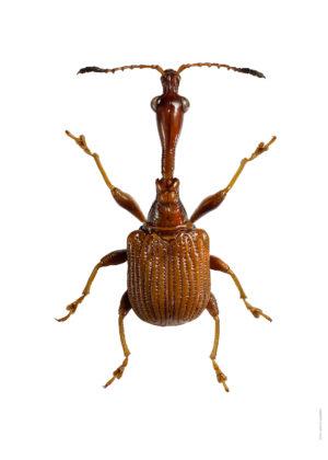 Paratrachelophorus longicornis A