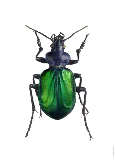 Stor larvmordare  Calosoma sycophanta A