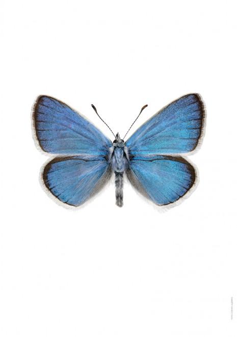 Väpplingblåvinge Cyaniris dorylas A