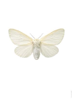 Videspinnare Leucoma salicis