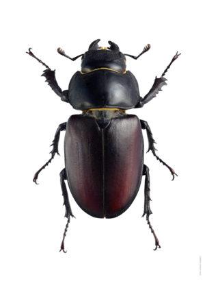 Ekoxe, hona Lucanus cervus A