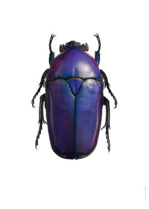 Cetoniidae - Potosia sp. A4 utan