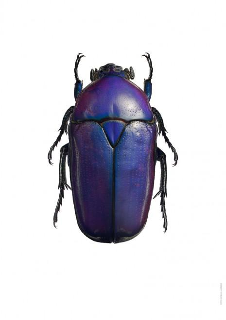 Cetoniidae – Potosia sp. A4 utan