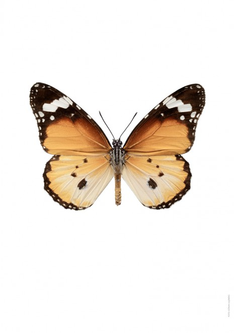 Danaus chrysippus A4 utan