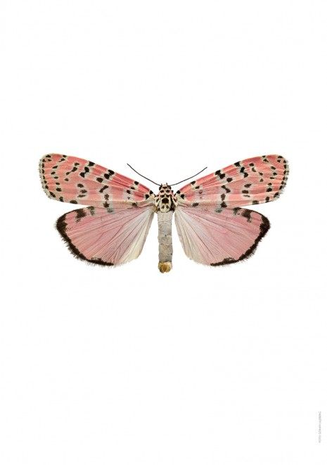 Utethesia ornatrix bella A4 utan