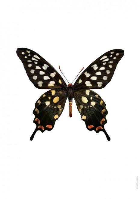 Papilio antenor A4 utan 2