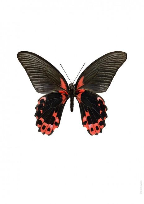 Papilio deiphobus A4 utan