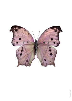 Salamis parhassusA4 utan, variant