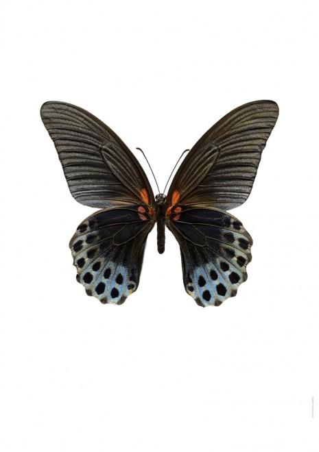 Papilio memnon hane u. utan