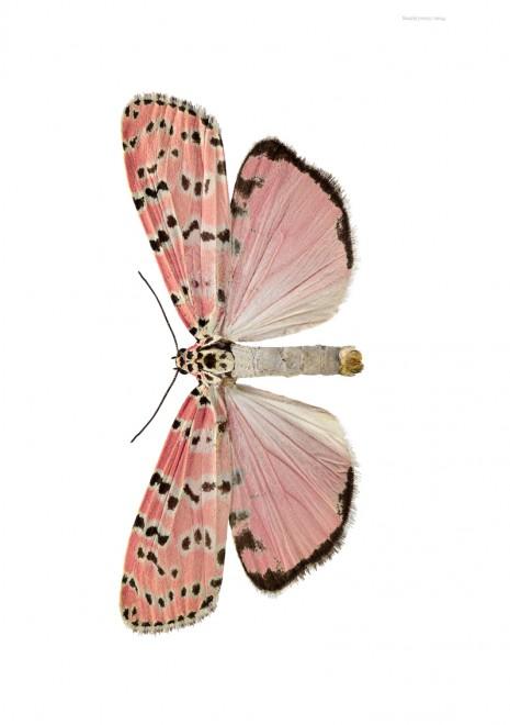Utethesia bella A4 utan, liggande