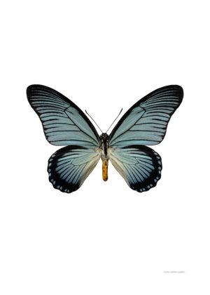 Papilio zalmoxis A4 utan 800px
