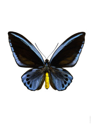 Ornithoptera priamus blue 3040 utan webb