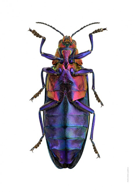 Chrysochroa buqueti rugicollis A4 utan undersida webb