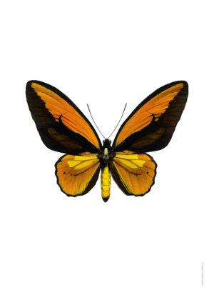 Ornithoptera priamus, orange A4 utan webb