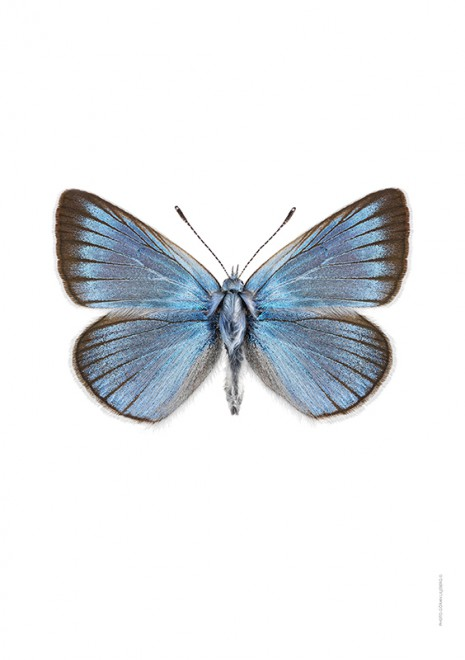 Silverblåvinge Polyommatus amandus A4 utan webb
