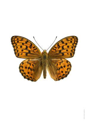 Skogspärlemorfjäril Argynnis adippe A4 utan webb