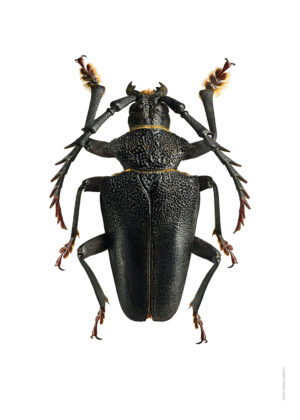 calocomus-desmarestii-a4-utan-webb