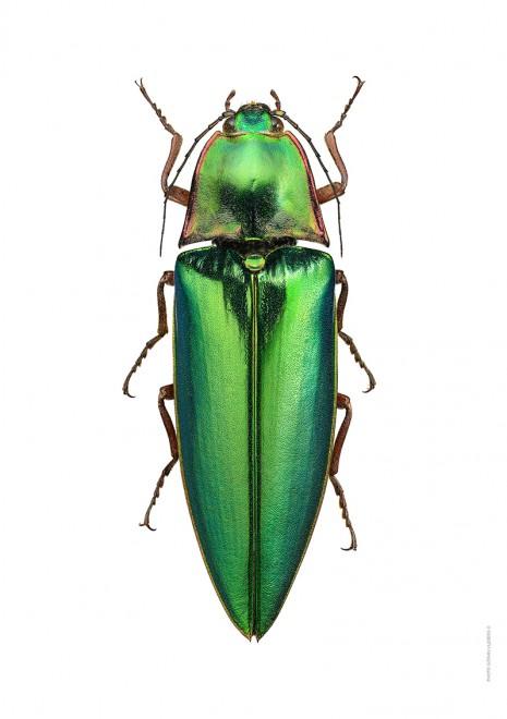 Campsosternus auratus A4 utan webb