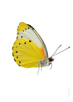mylothris-agathina-a4-utan-sida-webb