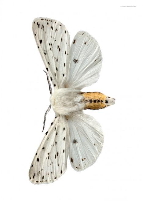 Prickig tigerspinnare A4 utan liggande webb