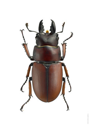 prosopocollius-ijengensis-a4-utan-webb
