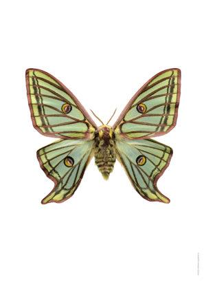 Graellsia isabellae A4 utan webb